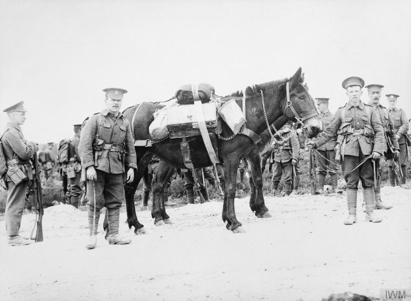 Pack mules of the 8th (Service) Battalion of the Norfolk Regiment. 1915. Imperial War Museum image Q53976.